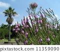 穂状 푸른 꽃은 버베나 · 하스타타 꽃과 야자수 11359090
