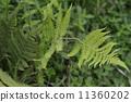 绿色的蕨类植物 11360202