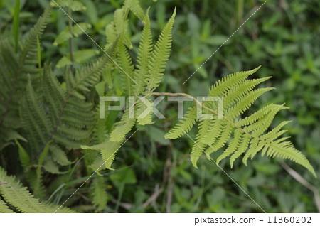 綠色的蕨類植物 11360202