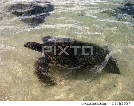 A sea turtle to swim 11363654
