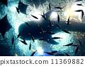 鲨鱼 鲸鲨 鱼 11369882