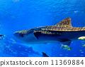 鯊魚 鯨鯊 美麗海水族館 11369884