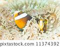 Ocellaris Clownfish, tropical fish, fishes 11374392