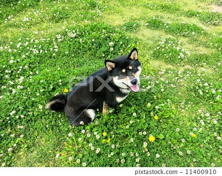 Dog (1) Black bush and dandelion 11400910