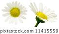 濱菊 浜菊 花朵 11415559