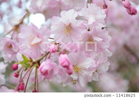 粉紅色的櫻花 11418625