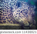 jaguar, spotted, lie 11436021