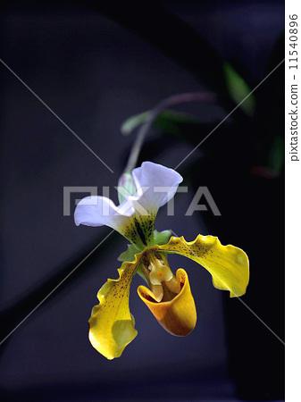 蘭花. 11540896