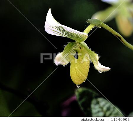 蘭花. 11540902