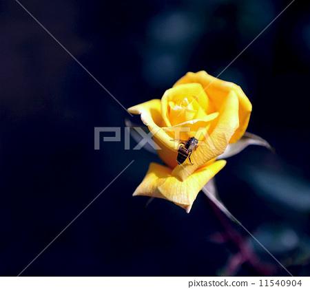 玫瑰花 11540904