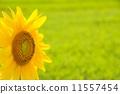 꽃, 해바라기, 꽃잎 11557454