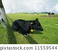 黑毛和牛 11559544