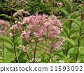 長名Uupa Torium'atroprepremium'是一朵粉紅色的花 11593092