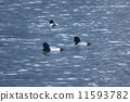 duck, greater, scaup 11593782