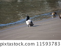 duck, greater, scaup 11593783