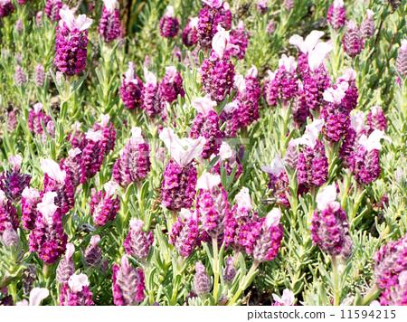 French Lavender 11594215