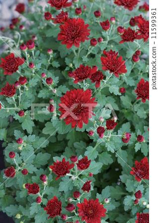 噴菊花品種是Alsia 11599361