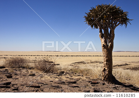 Quiver Tree in Namibia 11610285