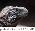 wildlife, reptile, lizard 11730505