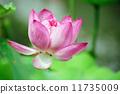 ดอกโลตัส 11735009