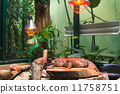 lizard big iguana 11758751