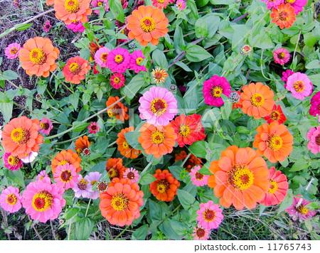 백일초 꽃말 : 행복, 언제 까지나 변하지 않는 마음, 먼 친구를 생각하는 고귀한 마음 (7/17 생일 꽃) 11765743