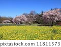 ดอกเรป,ทุ่งดอกไม้,ดอกซากุระบาน 11811573