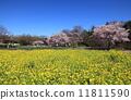 ดอกไม้บานเต็มที่,ดอกซากุระบาน,ซากุระบาน 11811590