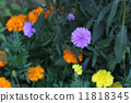 Michaelmas, daisy, bloom 11818345