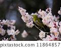 ลูกท้อ,บ๊วย,ดอกท้อญี่ปุ่น 11864857