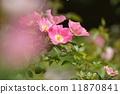 장미 꽃 11870841