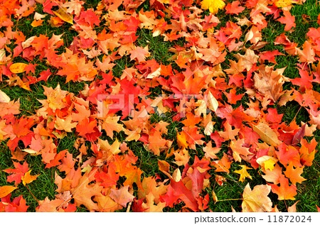Autumn leaves and lawn 11872024