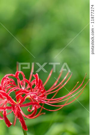 Close-up of cluster amaryllis 11877274