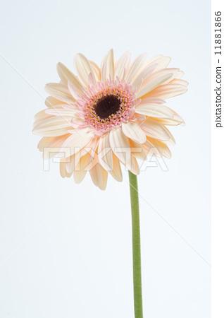 Spring flowers Gerbera 04 11881866