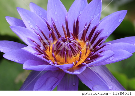 Water Lily flower with raindrop 11884011