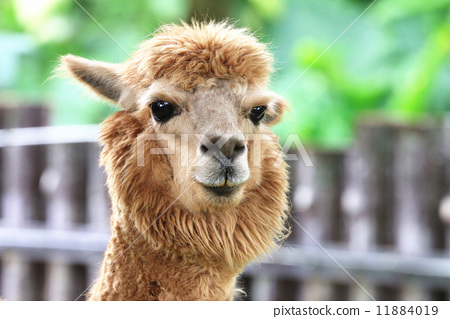 Alpaca,closeup of Alpaca head 11884019