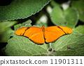 Julia Heliconian Dryas Julia 11901311