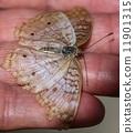 peacock, anartia, jatrophae 11901315