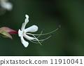 自然 植物 クサギ、葉が臭いのでクサギです。が、若葉はお浸しになったりお茶になったり、実は草木染の染料になります 11910041