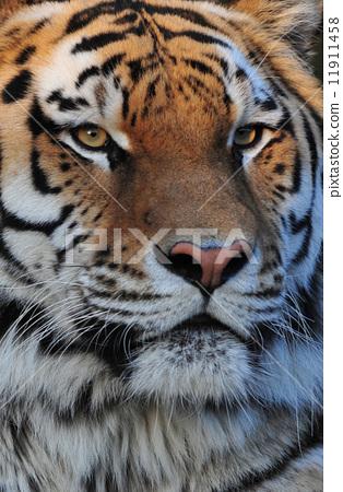 一隻精采老虎的畫像 11911458