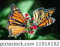 Monarch Danaus Plexippus 11914192