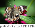 insect, buckeye, common 11914194