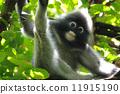 monkey, langur, leaf 11915190