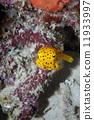 Small yellow box fish in Raja Ampat Papua, Indonesia 11933997