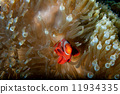 Red Clown fish in anemone with shrimps in Raja Ampat Papua, Indonesia 11934335