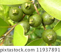 Young fruits of tropical fruit hime gaba which turns yellow from now 11937891