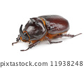 rhinoceros beetle isolated on white background 11938248