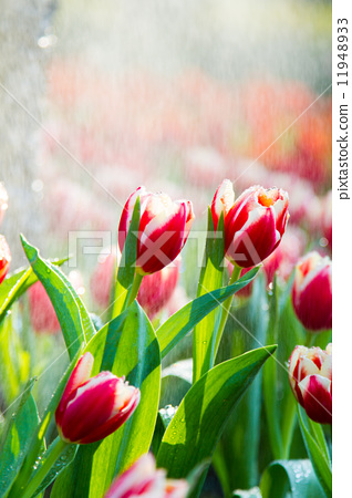 Red tulips in the rain 11948933