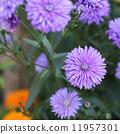 米迦勒雏菊 花朵 花卉 11957301