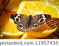 coenia, buckeye, common 11957430